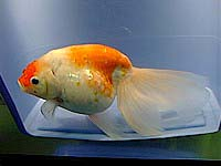 золотая рыбка, осака-ранчу, фото, фотография