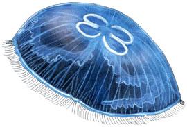 медуза обыкновенная, аурелия ушастая, ушастая аурелия (Aurelia aurita)<strong><em>Названия:</em></strong> <em>медуза обыкновенная, аурелия ушастая, ушастая медуза, лунная медуза</em>.</p><p align=
