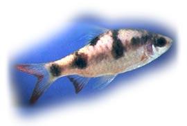 косицеплавничный барбус, барбус косицеплавничный (Barbus arulius, Puntius arulius), фото, фотография