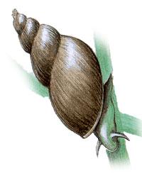 прудовик обыкновенный, прудовик болотный, обыкновенный прудовик, большой прудовик, озерник, улитки (Limnaea stagnalis), фото, фотография