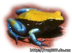 синеногая мантелла, мантелл синегорлая (Mantella expectata), фото, фотография