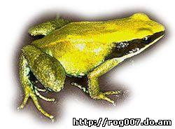 зеленая мантелла, мантелла зеленая (Mantella viridis), фото, фотография