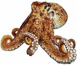 осьминог обыкновенный, cпрут, спрут обыкновенный, обыкновенный атлантический осьминог, европейский осьминог (Octopus vulgaris), фото фотография, головоногие моллюски беспозвоночные