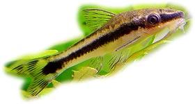 отоцинклюс Арнольда (Otocinclus arnoldi), фото, фотография