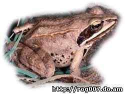 остромордая лягушка, болотная лягушка (Rana arvalis), фото, фотография