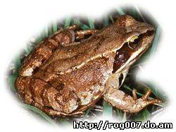 травяная лягушка, обыкновенная лягушка, европейская лягушка (Rana temporaria), фото, фотография