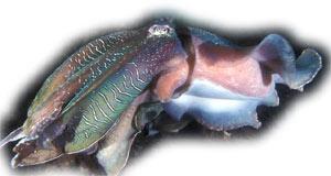 каракатица, гигантская каракатица, каракатица гигантская, австралийская гигантская каракатица (Sepia apama), фото фотография, моллюски беспозвоночные