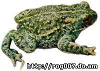 камышовая жаба, жаба камышовая (Bufo calamita), фото, фотография