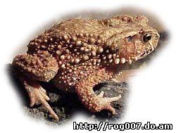 вьетнамская горная жаба, шлемоголовая жаба (Bufo galeatus), фото с сайта zooekzotika.narod.ru