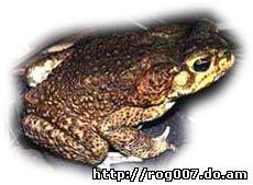 жаба ага, жаба-ага, тростниковая жаба, морская жаба, гигантская жаба (Bufo marinus), фото, фотография