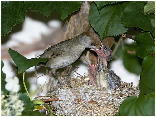 самка славки-черноголовки с птенцами