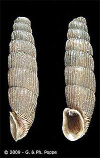 Acrotoma narzanensis, фото фотография, улитки, моллюски, беспозвоночные