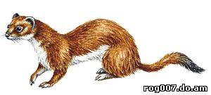 горностай (Mustela erminea), фото, фотография с http://dkimages.com/