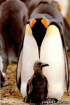 императорский пингвин, пингвин императорский (Aptenodytes forsteri), фото, фотография