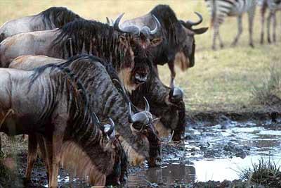 антилопа гну, гну антилопа (Connochaetes gnou), гну, фото, фотография