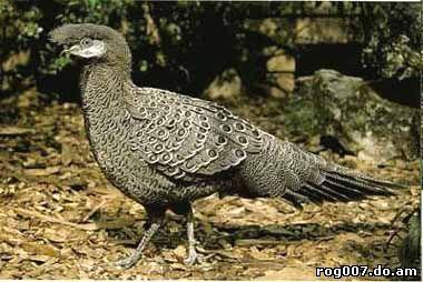 бронзовохвостый фазан, фазан бронзовохвостый (Polyplectron chalcurum), фото, фотография