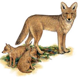 койот, луговой волк (Canis latrans), рисунок