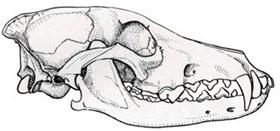 череп койота (Canis latrans), рисунок