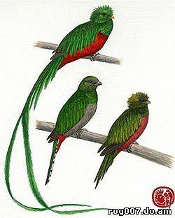 гватемальский квезал, квезал гватемальский (Pharomachrus mocinno), фото, фотография с http://conabio.gob.mx