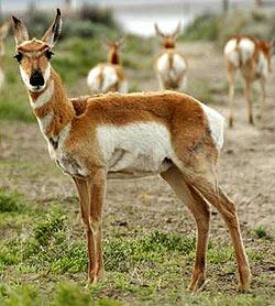 Вилорог (Antilocapra americana), фото, фотография антилопы