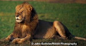 лев (Panthera leo), фото, фотография с
