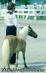 американская миниатюрная лошадь, миниатюрная лошадь, фото, фотография
