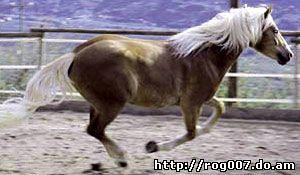 авелинская лошадь, авелинская порода лошадей, фото, фотография