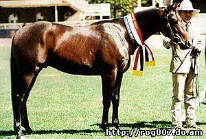 австралийская пастушья лошадь, уолер, waler, породы лошадей, фото, фотография
