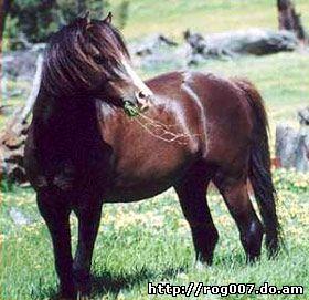 австралийский пони, породы лошадей, фото, фотография