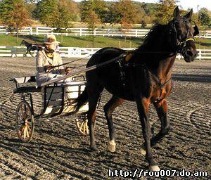 американская рысистая стандартбредная лошадь, породы лошадей, фото, фотография