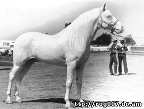 американский альбинос, породы лошадей, фото, фотография