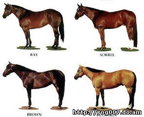 американский квартер, четырехмильная лошадь, фото, фотография