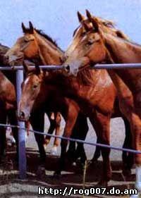 чистокровная верховая лошадь, английская чистокровная лошадь, фото, фотография
