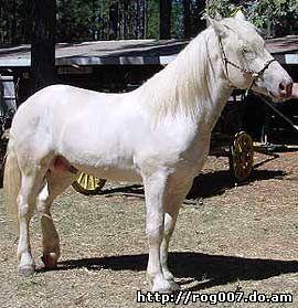американская упряжная лошадь, кремовая лошадь, фото, фотография