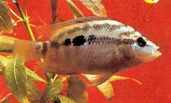 цихлазома Сальвина, цихлазома Сальвини (Cichlasoma salvini), фото, фотография