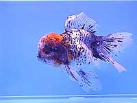 золотая рыбка (Carassius auratus), фото, фотография