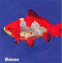 вакин, золотая рыбка, фото, фотография
