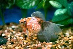 золотая рыбка. жемчужинка, фото, фотография