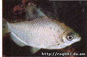 дистиходус серебристый, дистиходус аффинис (Distichodus affinis), фото, фотография