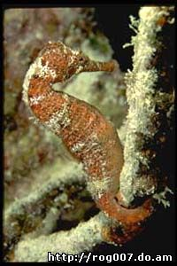 морской конек, фото, фотография