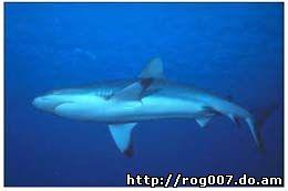 акула, фото, фотография