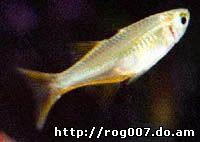рыба-солнечный луч, тельматерина Ладигеза, солнечный лучик (Telmatherina ladigesi), фото, фотография