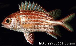 красно-коричневая рыба-белка (Sargocentron rubrum), фото, фотография