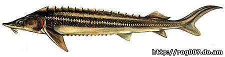 Стерлядь (Acipenser ruthenus), рисунок картинка с http://www.fishing.kiev.ua/riby/sab/st01_01.jpg