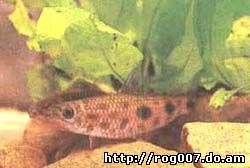лепорин пятнистый, пятнистый лепорин (Leporinus masculatus), фото, фотография