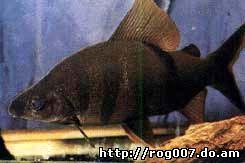 дистиход Лусоссо, носатый дистиход, восьмиполосый дистиход (Distichodus lusosso), фото, фотография