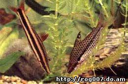 аностом обыкновенный, аностомус обыкновенный (Anostomus anostomus), фото, фотография