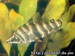 абрамитес мраморный, абрамит, лещ-салмлер, мраморный абрамит (Abramites hypselonotus), фото, фотография