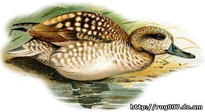 Узконосый чирок (Anas angustirostris), рисунок картинка, утки птицы