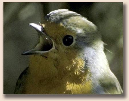 Зарянка или малиновка (Erithacus rubecula)